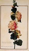 Malva rosea , pink malva, 17th century hand painted on Parchment botany study of a from the Jardin du Roi botanical Florilegium of Prince Eugene of Savoy collection, Paris c. 1670 artist: Nicolas Robert