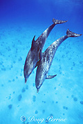 Atlantic spotted dolphins, Stenella frontalis, White Sand Ridge, Little Bahama Bank, Bahamas ( Western Atlantic Ocean )