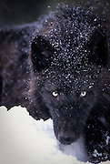 A grey wolf (Canis lupus) in the snow. Captive, Montana.