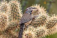 Cactus Wren nest building in teddy bear cholla at the Arizona Sonoran Desert Museum in Tucson, Arizona, USA