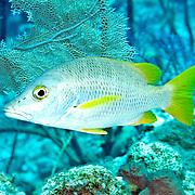 Schoolmaster inhabit reefs in Tropical West Atlantic; picture taken Grand Turk.