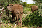 A herd of African Bush Elephant (Loxodonta africana), Photographed at Lake Manyara National Park, Tanzania
