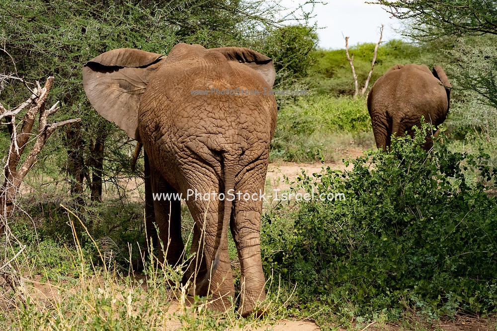A herd of African Bush Elephant (Loxodonta africana), Photographed at Lake Manyara National Park, Tanzania