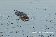 02929-00907 American Alligator (Alligator mississippiensis) Viera Wetlands Brevard County, FL