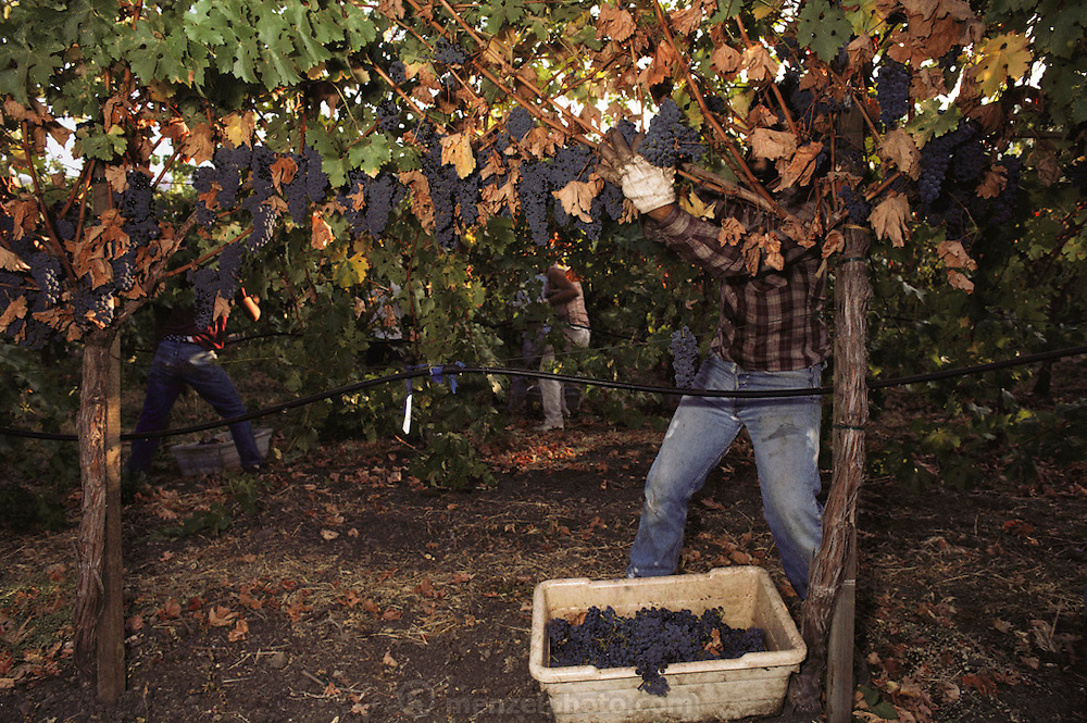 Napa Valley, California. Hand harvesting of cabernet sauvignon that will be made into wine.