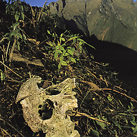 Cordillera Vilcabamba, Andes Mountains, Peru.  A skull, probably Incan, tossed aside by grave robbers on Cerro Victoria.