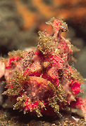 Frogfish is well hidden -headon closeup of face.(Antennarius sp.).Lembeh Straits, Indonesia
