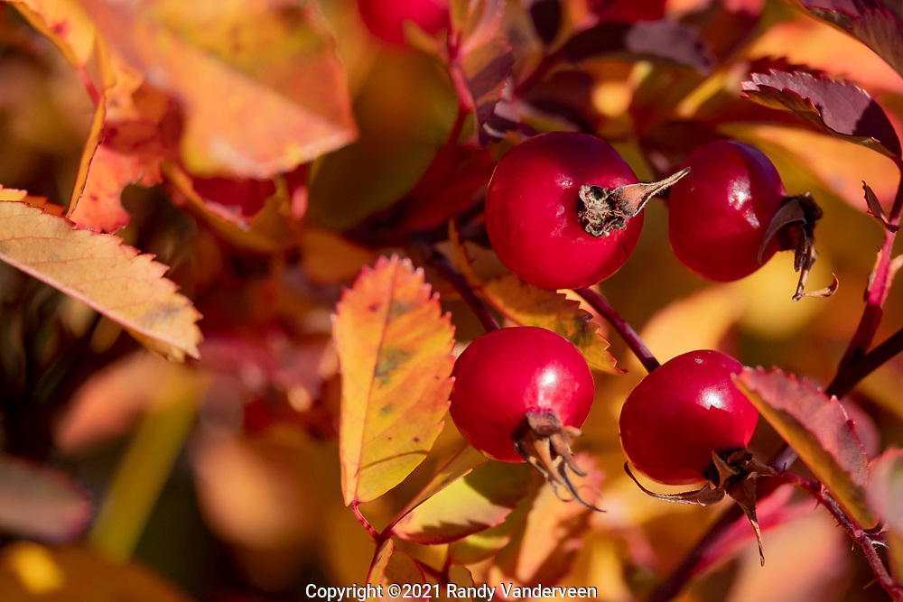 Photo Randy Vanderveen<br /> Grande Prairie, Alta. <br /> Rose hips are surrounded by the autumn colours of the plant's leaves as fall arrived in the Peace Country Sept. 22. Foliage throughout the Peace Country is beginning to change colour as winter gets closer.