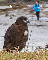 Striated Caracara (Phalcoboenus australis). Image taken with a Leica T camera and 18-56 mm lens.