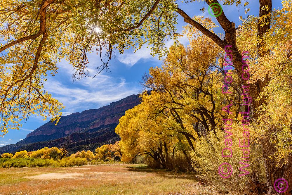Autumn cottonwoods along a field in the Jemez River corridor near Jemez Springs, New Mexico, © David A. Ponton