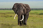 One of the large tusked elephants of Ngorongoro Crater, Tanzania.