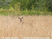 Black-tailed deer, Odocoileus hemionus, Point Reyes National Seashore, California