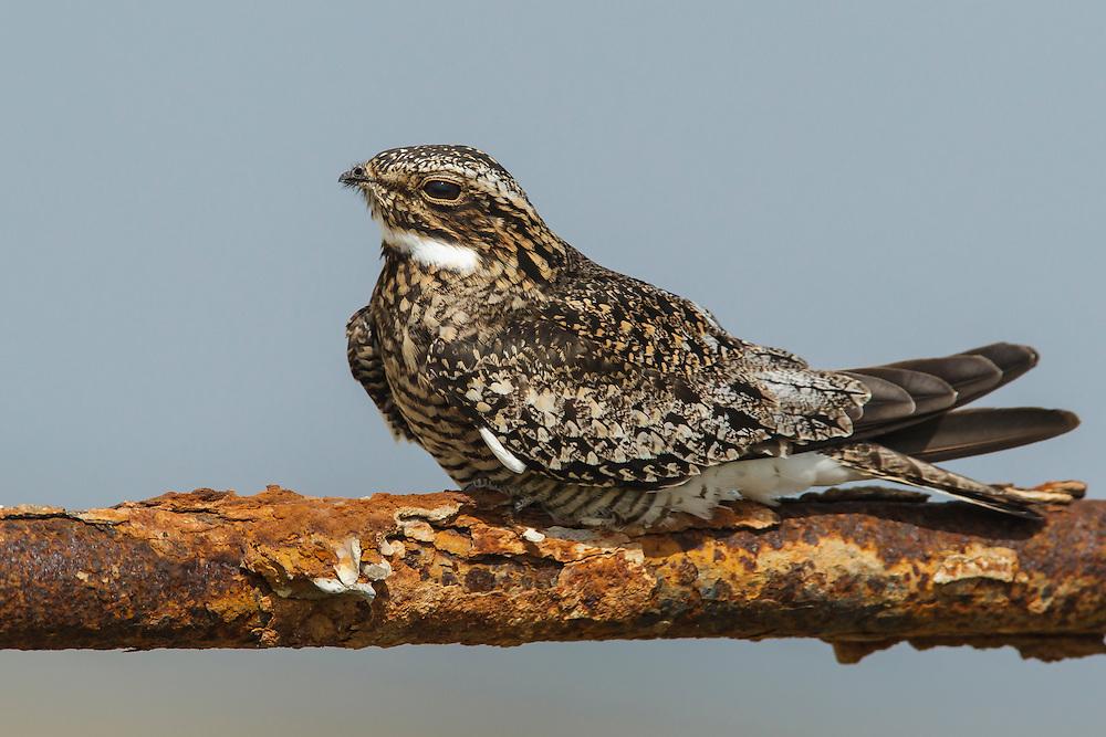 Common Nighthawk - Chordeiles minor - Adult male