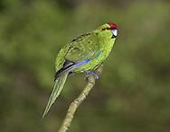 Red-crowned Parakeet - Cyanoramphus novaezelandiae
