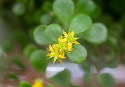 Golden Japanese Stonecrop (Sedum makinoi ogon) flowers and foliage. This is a tiny-leaved, spreading, ground cover Sedum that is noted for its bright gold foliage. The tiny, star-like, yellow-green flowers appear in summer. Photographed in Israel in May