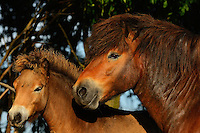 Exmoor ponies, one of the oldest and most primitive horse breeds in Europe, Keent Nature Reserve, The Netherlands