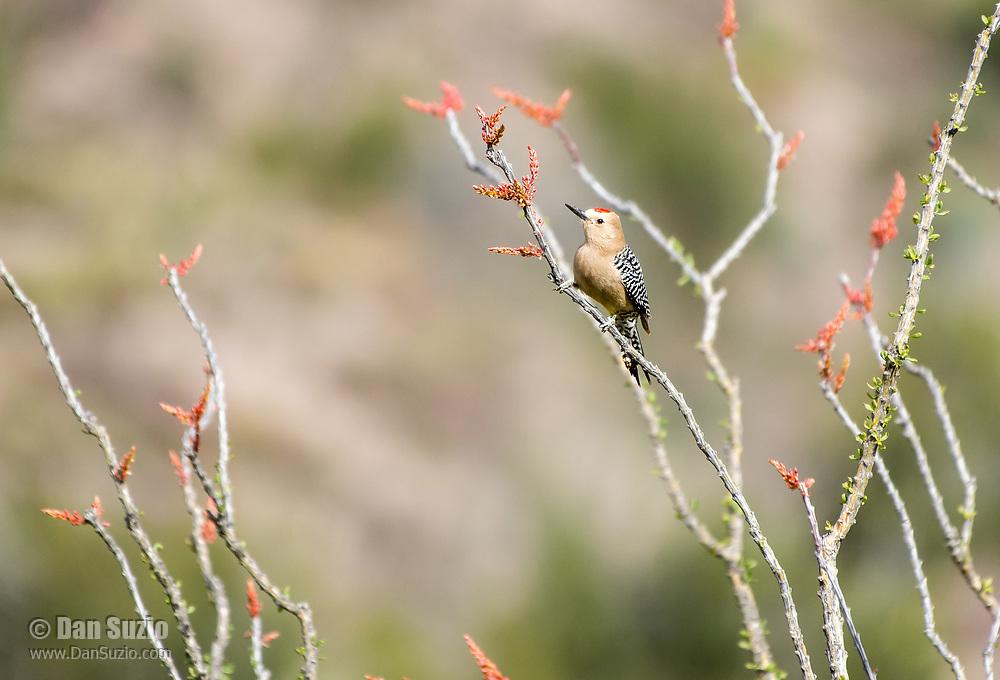 A male Gila Woodpecker, Melanerpes uropygialis, perches on an Ocotillo, Fouquieria splendens, in Sonoita Creek State Natural Area, Arizona