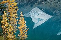 Subalpine larches (Larix lyallii) in autumn, Floe Lake, Kootenay National Park British Columbia