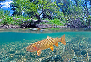 Yellowstone Cutthroat Trout<br /> <br /> Patrick Clayton/Engbretson Underwater Photography
