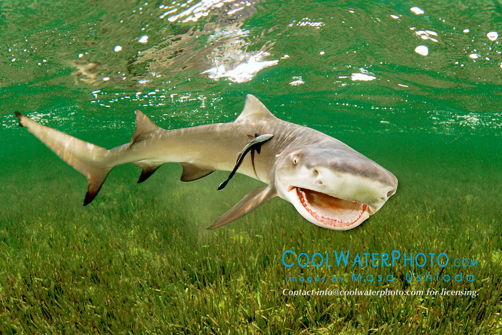 lemon shark, Negaprion brevirostris, .with sharksucker, Echeneis naucrates, .Little Card Sound, Biscayne Bay, .Key Largo, Florida (Atlantic).