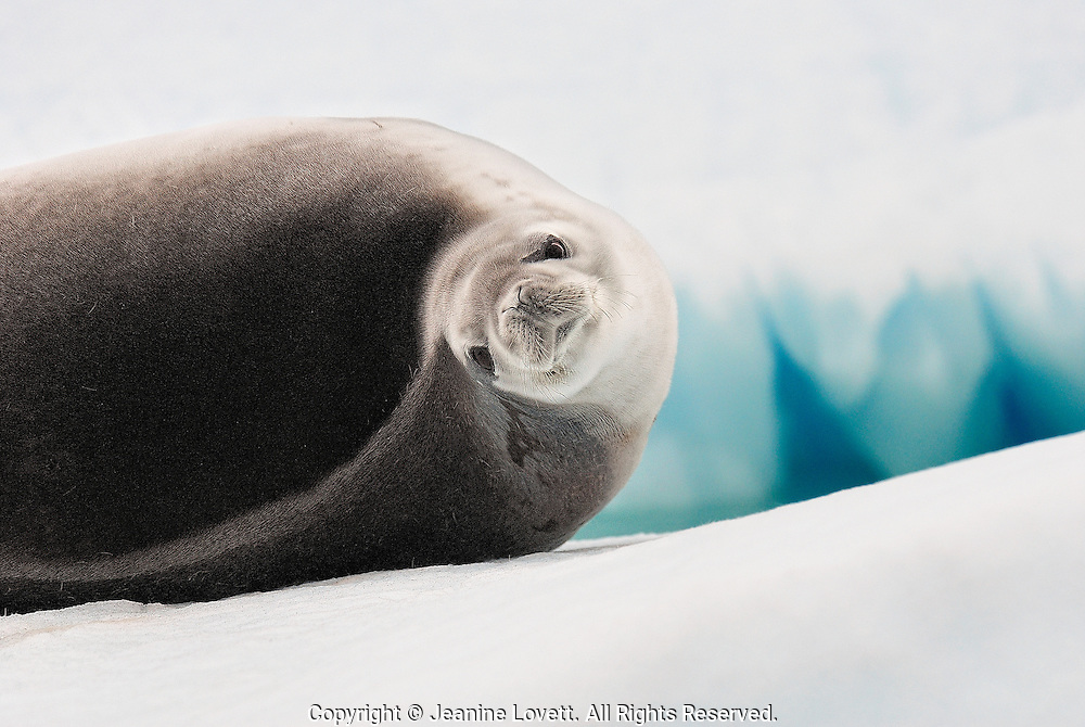 Weddell seal, takes a look before falling a sleep on a iceberg in the Lemaire Channel, Antarctica.