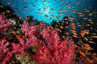 Anthias school and soft corals.