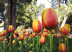 April 18, 2018 - Beijin, Beijin, China - Beijing, CHINA-18th April 2018: The tulip exhibition is held at Zhongshan Park in Beijing, April 18th, 2018, featuring more than 300,000 tulips. (Credit Image: © SIPA Asia via ZUMA Wire)