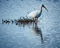 White Ibis along Black Point Wildlife Drive. Image taken with a Nikon N1V2 camera, FT1 adapter and 70-200 mm f/4 VR lens (ISO 160, 200 mm, f/4, 1/1000 sec).