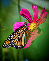 First Monarch Butterfly of the season on a Red Cosmos wildflower. Backyard summer nature in New Jersey. Image taken with a Nikon D3x camera and 500 mm f/4 VR telephoto lens (ISO 100, 500 mm, f/4.5, 1/500 sec).