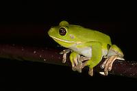 White-lipped Tree Frog (Litoria infrafrenata), also known as Australasian Giant Tree Frog.