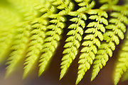 Fern in a London garden, England, United Kingdom