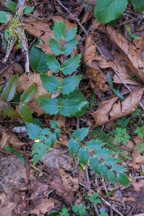 Early springtime in the Pacific Northwest and this dwarf Oregon-grape (Mahonia nervosa) will start to bud soon. They have the most beautiful leaves with holly-like leaflets. Not a grape as we know it, but this native plant produces edible blue berries that are quite sour!