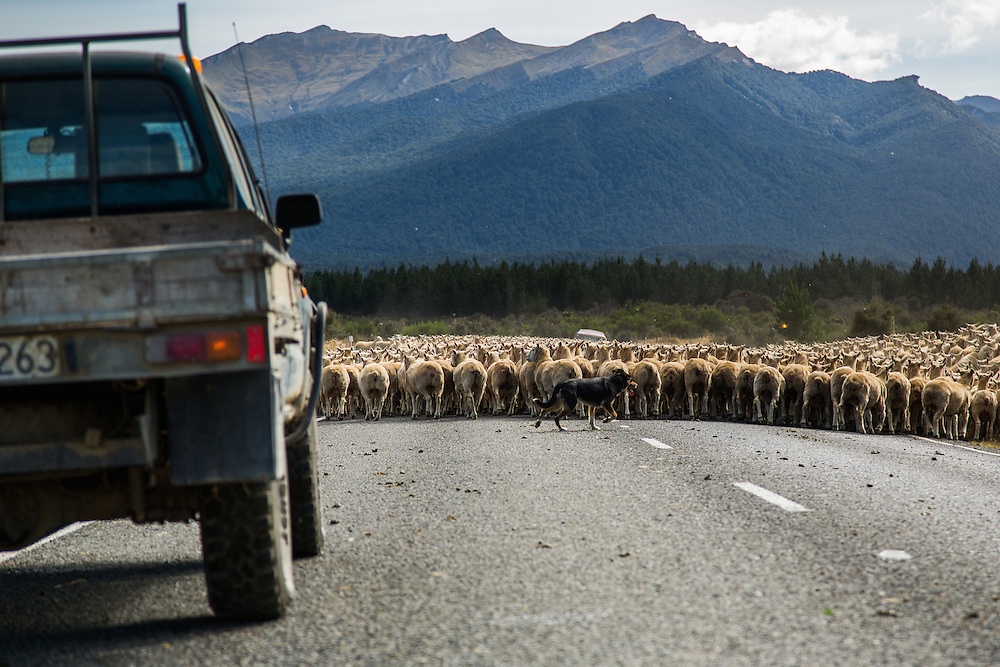 New Zealand Huntaway Clearing Traffic