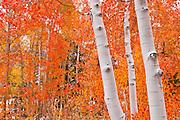 Fresh snow on fall aspens along Bishop Creek, Inyo National Forest, Sierra Nevada Mountains, California USA