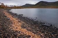 Fallen autumn birch leaves washed on shore of lake Tärnasjön, Kungsleden trail, Lapland, Sweden