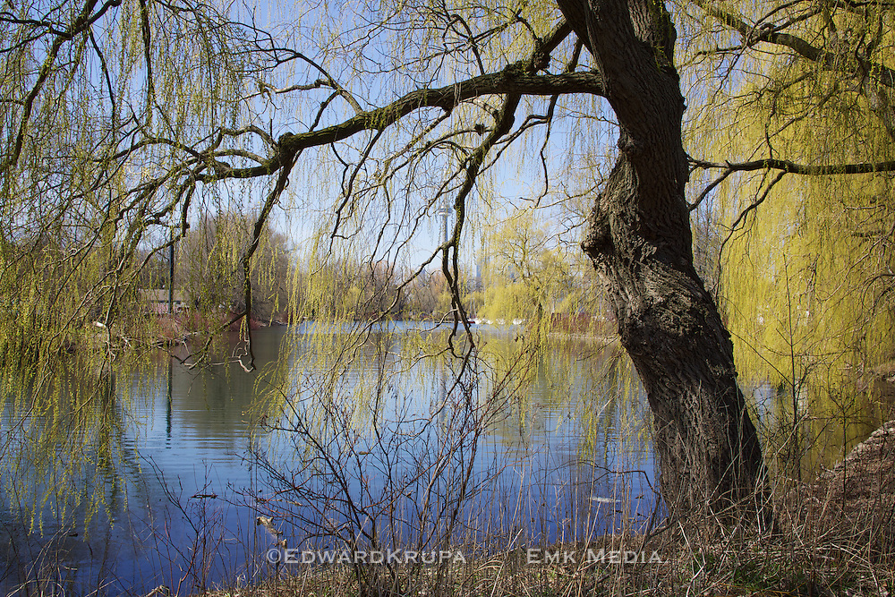 Willow tree and canal in the spring on Toronto Island with distant skyline.