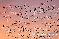 00754-02508 Snow Geese (Chen caerulescens) in flight at sunrise Marion Co. IL