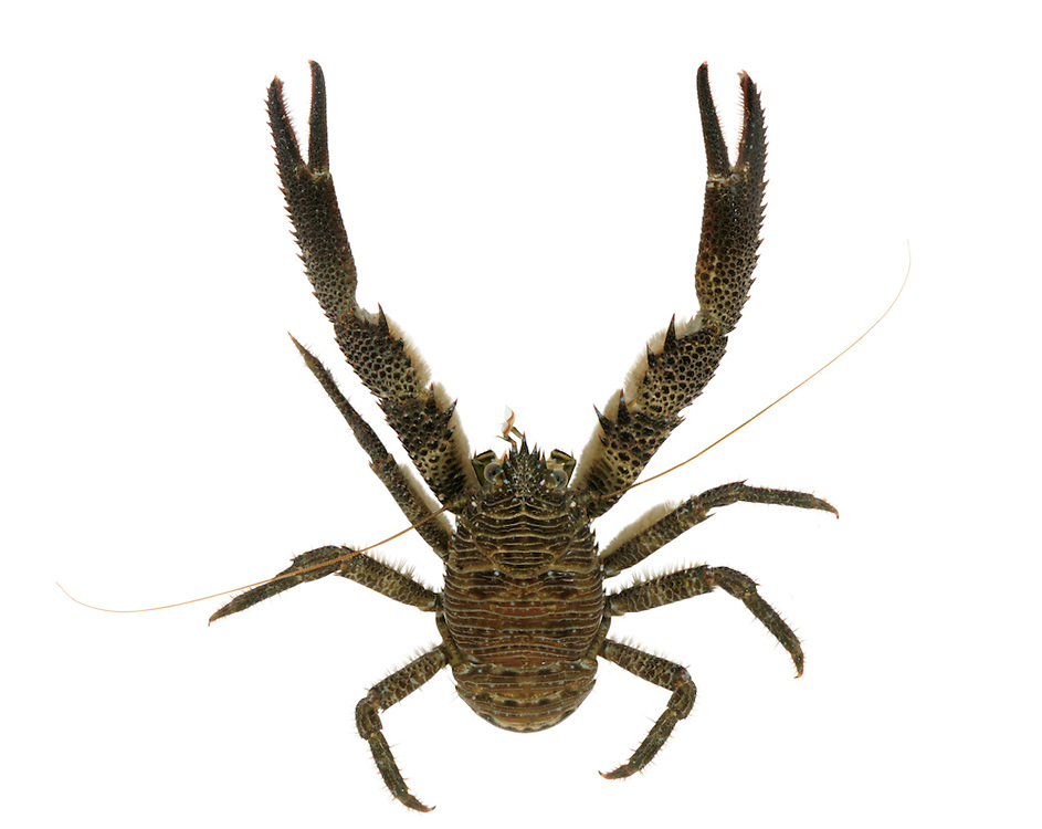 Squat Lobster - galathea squamifera