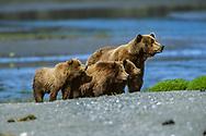Alaskan brown bear with three cubs, all watching a passing bear, McNeil River State Game Sanctuary, Alaska, © David A. Ponton