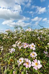 Prairie roses on Blackland Prairie, High Point Park and Wildflower Preserve, Farmersville, Texas, USA. Check identification.