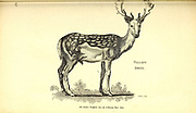 Male Fallow Deer from General zoology, or, Systematic natural history Vol II Part 2 Mammalia, by Shaw, George, 1751-1813; Stephens, James Francis, 1792-1853; Heath, Charles, 1785-1848, engraver; Griffith, Mrs., engraver; Chappelow. Copperplate Printed in London in 1801 by G. Kearsley