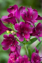 Alstroemeria 'Cleo'. Peruvian Lily