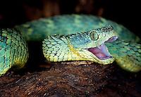 Variable Bush Viper(Atheris squamigera)