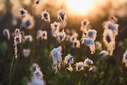 Sunlit seed-heads of the hare's-tail or tussock cottongrass (Eriophorum vaginatum) in sunrise, Kemeri National Park (Ķemeru Nacionālais parks), Latvia Ⓒ Davis Ulands | davisulands.com
