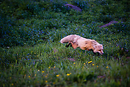 A red fox pounces on a rodent it spies in the grasses. Hayden Valley, Yellowstone