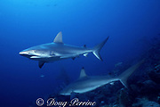 Caribbean reef sharks, Carcharhinus perezi, Walker's Cay, Abaco Islands, Bahamas ( Western Atlantic Ocean )