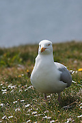Front view of a herring gull next to the car park at Chanonry Point on the Black Isle, Scotland.