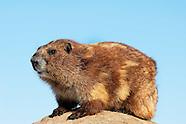 Wildlife - Marmot