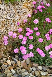 Dianthus 'Pink Jewel' growing amongst rocks