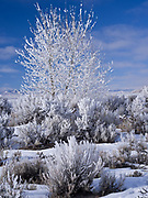 Hoarfrost and rime covering sagebrush and cottonwood, Pahsimeroi Valley with the Lemhi Range beyond, Idaho.